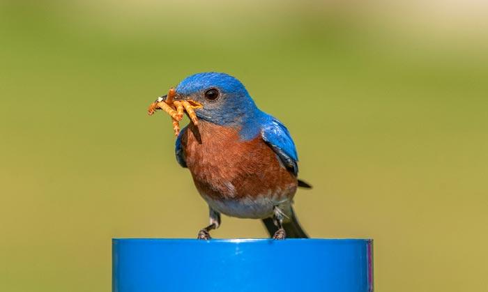 best-mealworm-feeder-for-bluebirds