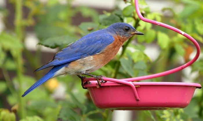 bluebird-mealworm-feeder