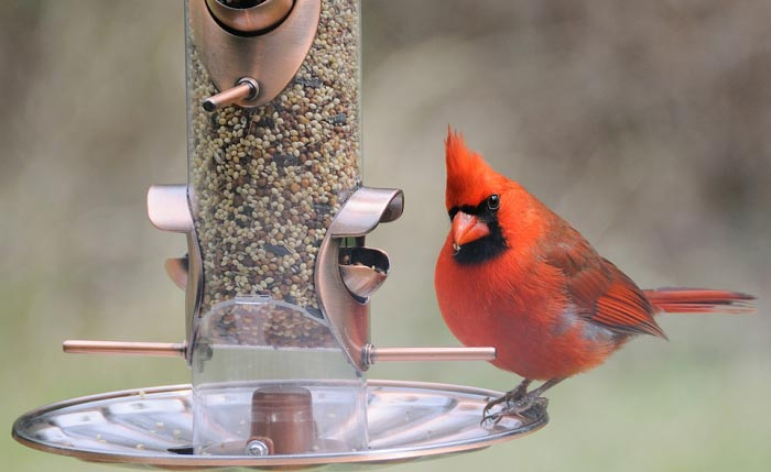 best-feeder-for-cardinals